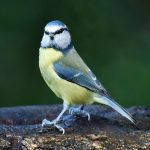 Bluetit sq